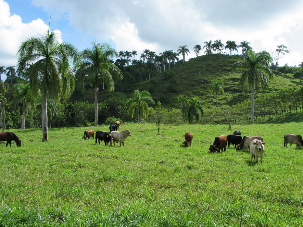 Farm Cattle Grazing Cabrera Abreu Dominican Republic