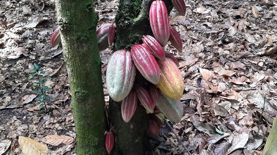 cacao tree 2